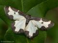 Vogelschmeiß-Spanner (Lomaspilis marginata) - DE (SH)