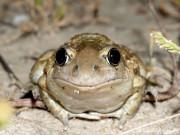 Knoblauchkröte (Pelobates fuscus), 2007