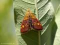 Purpur-Zünsler (Pyrausta aurata) - DE (HH)