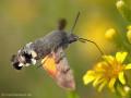Taubenschwänzchen (Macroglossum stellatarum) - FR (Korsika, Balagne)