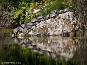 Europäische Sumpfschildkröte (Emys orbicularis lanzai)