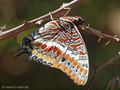 Erdbeerbaumfalter (Charaxes jasius) - FR (Korsika, Balagne)