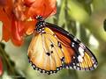 Kleiner Monarch (Danaus chrysippus) - FR (Korsika, Balagne)