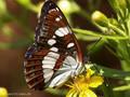 Blauschwarzer Eisvogel (Limenitis reducta) - FR (Korsika, Balagne)