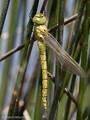 Südliche Mosaikjungfer (Aeshna affinis), Weibchen kurz nach dem Schlupf - FR (Korsika, Balagne)