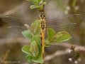 Frühe Heidelibelle (Sympetrum fonscolombii), junges Weibchen - DE (HH)