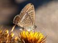 Großer Wanderbläuling (Lampides boeticus) - FR (Korsika, Balagne)