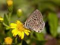 Kleiner Wanderbläuling (Leptotes pirithous) - FR (Korsika, Balagne)