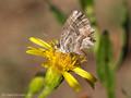 Pelargonien-Bläuling (Cacyreus marshalli) - FR (Korsika, Balagne)