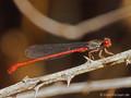 Scharlachlibelle (Ceriagrion tenellum), Männchen - FR (Korsika, Balagne)