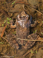 Scheibenzüngler (Discoglossus spec. - D. montalenii ? / D. sarda?), adultes Tier - FR (Korsika, Balagne - auf einer Höhe von ca. 200 m NN)