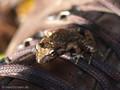 Scheibenzüngler (Discoglossus spec. - D. montalenii ? / D. sarda?), adultes Tier auf Sitzwarte Wanderschuh - FR (Korsika, Balagne - auf einer Höhe von ca. 200 m NN)