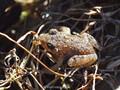 Scheibenzüngler (Discoglossus spec. - D. montalenii ? / D. sarda?), Jungtier kurz nach Abschuss der Metamorphose, Größe ca. 15 mm - FR (Korsika, Balagne - auf einer Höhe von ca. 200 m NN) August 2012