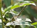 Asiatische Keiljungfer (Gomphus flavipes), Weibchen - DE (NI)