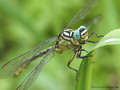 Asiatische Keiljungfer (Gomphus flavipes), Männchen - DE (NI)
