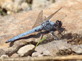 Südlicher Blaupfeil (Orthetrum brunneum), Männchen - FR (Korsika, Balagne)