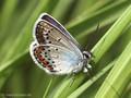 Vogelwicken-Bläuling (Polyommatus amandus), Männchen - DE (SH)