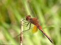Gefleckte Heidelibelle (Sympetrum flaveolum), Männchen - DE (HH)