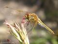 Gefleckte Heidelibelle (Sympetrum flaveolum), Weibchen - DE (HH)