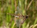 Gefleckte Heidelibelle (Sympetrum flaveolum), altes Weibchen - DE (HH)