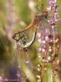 Gefleckte Heidelibelle (Sympetrum flaveolum), Paarungsrad - DE (HH)