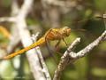 Südliche Heidelibelle (Sympetrum meridionale), junges Weibchen - FR (Korsika, Balagne)