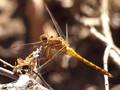 Südliche Heidelibelle (Sympetrum meridionale), unausgefärbtes Männchen - FR (Korsika, Balagne)