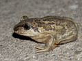 Knoblauchkröte (Pelobates fuscus) - DE (NI)