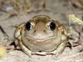Knoblauchkröte (Pelobates fuscus) - DE (SH)