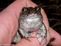 Knoblauchkröte (Pelobates fuscus) - DE (HH)
