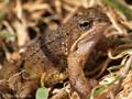 Grasfrosch (Rana temporaria) - DE (HH)