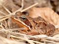 Grasfrosch (Rana temporaria) - SE (Hallands län)