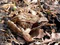 Grasfrosch (Rana temporaria) - DE (SH)