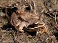 Grasfrosch (Rana temporaria) - DE (MV)