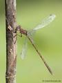 Gemeine Winterlibelle (Sympecma fusca), Männchen - DE (ST)