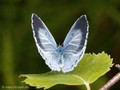 Faulbaumbläuling (Celastrina agriolus), Weibchen - DE (HH)