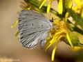 Faulbaumbläuling (Celastrina agriolus) - FR (Korsika, Balagne)
