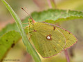 Weißklee- / Hufeisenklee-Gelbling (Artkomplex Colias-hyale-alfacariensis) - DE (HH)