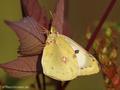 Weißklee- / Hufeisenklee-Gelbling (Artkomplex Colias-hyale-alfacariensis), Weibchen - DE (NI)