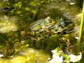 Wasserfrosch (Pelophylax spec.), Paar beim Ablaichen - DE (MV)