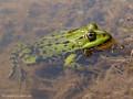 Wasserfrosch (Pelophylax spec.) - DE (MV)