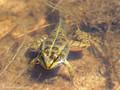 Wasserfrosch (Pelophylax spec.), während der Metamorphose - DE (HH)