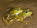 Wasserfrosch (Pelophylax spec.), Paar im Amplexus (Umklammerung) - DE (MV)