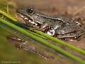 Wasserfrosch (Pelophylax spec.) - DE (HH)