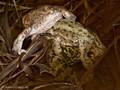 Erdkröte (Bufo bufo), Paarungszeit - Knäuel aus zwei klammernden Männchen und einem Wasserfrosch-Weibchen (Pelophylax spec.) - DE (HH)