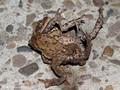 Erdkröte (Bufo bufo), Paarungszeit - Männchen versucht das Weibchen zu umklammern - DE (NI)