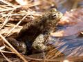 Erdkröte (Bufo bufo) - DE (HH)