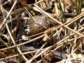 Erdkröte (Bufo bufo) als Beute der Ringelnatter (Natrix natrix) - DE (HH)