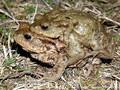 Erdkröte (Bufo bufo), Paar im Amplexus (Umklammerung) - DE (HH)