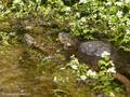 Europäische Sumpfschildkröte (Emys orbicularis lanzai) in Gesellschaft von Ringelnatter (Natrix natrix corsa) - FR (Korsika, Balagne)
